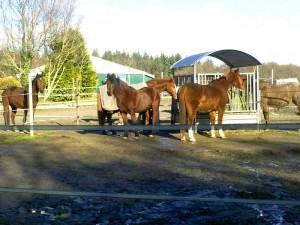Paddock Pferd