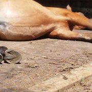 Pferd schläft auf der Gummimatte